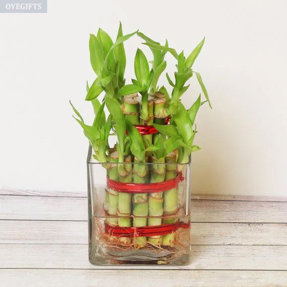 Two Layer Good Luck Bamboo Plant